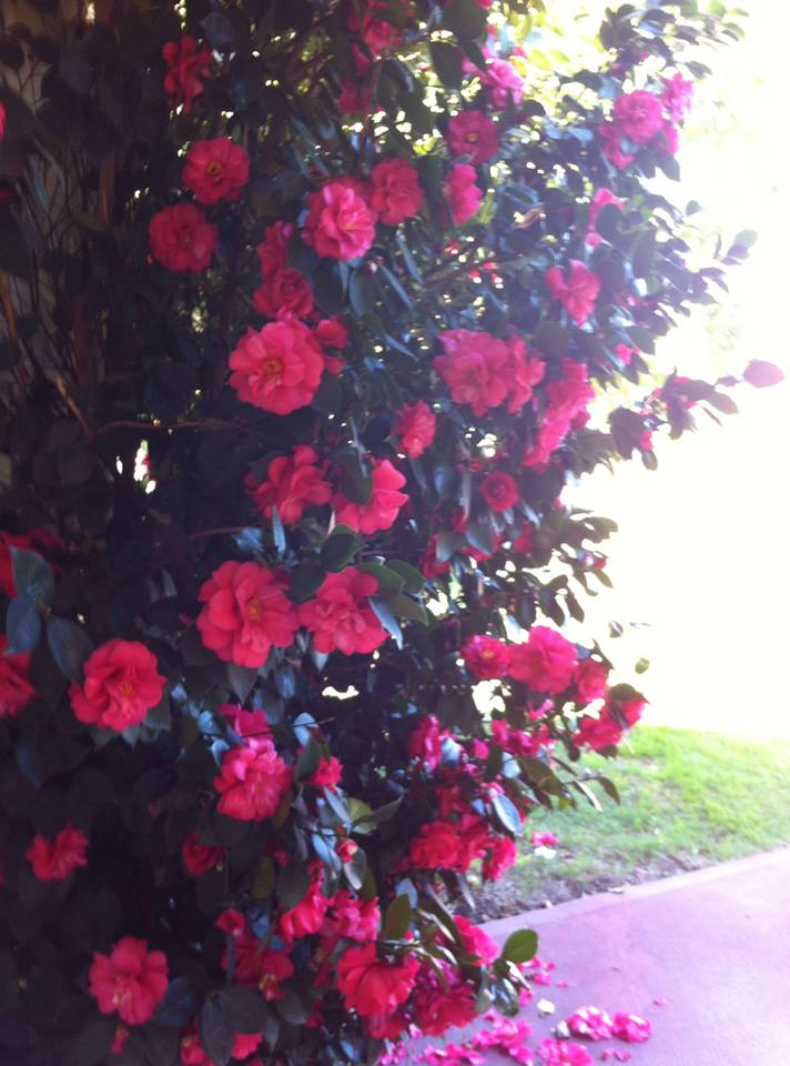 It's camellia season!