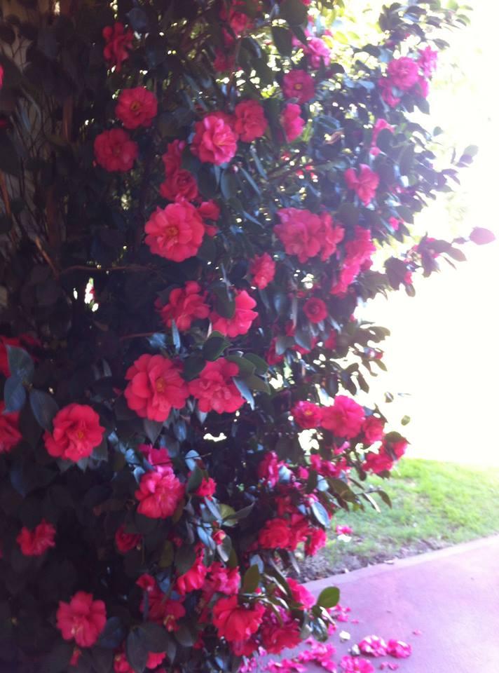 It's camellia season!